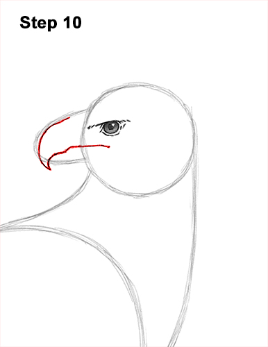How to Draw an American Harpy Eagle Bird 10