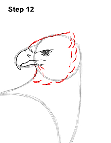 How to Draw an American Harpy Eagle Bird 12