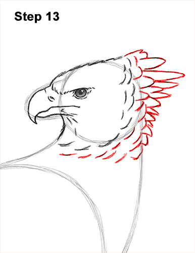 How to Draw an American Harpy Eagle Bird 13