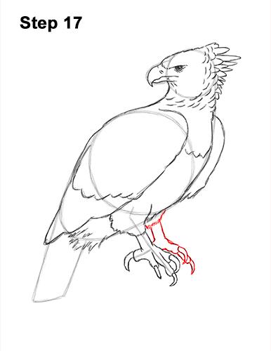 How to Draw an American Harpy Eagle Bird 17