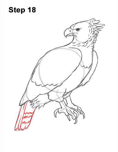 How to Draw an American Harpy Eagle Bird 18