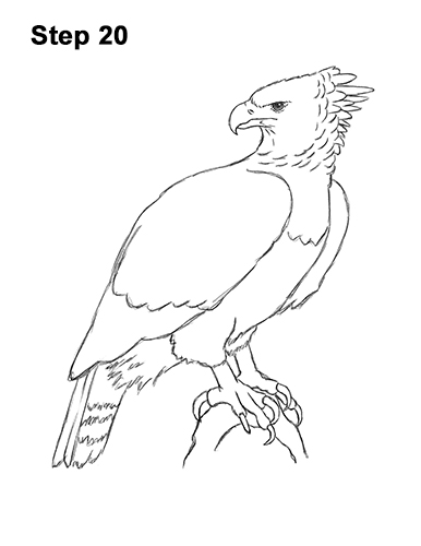 How to Draw an American Harpy Eagle Bird 20