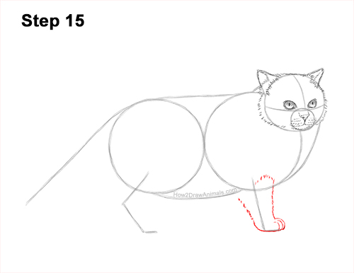 How to Draw Himalayan Cat Kitten Seal Point 15