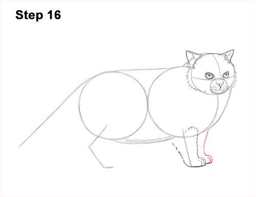 How to Draw Himalayan Cat Kitten Seal Point 16