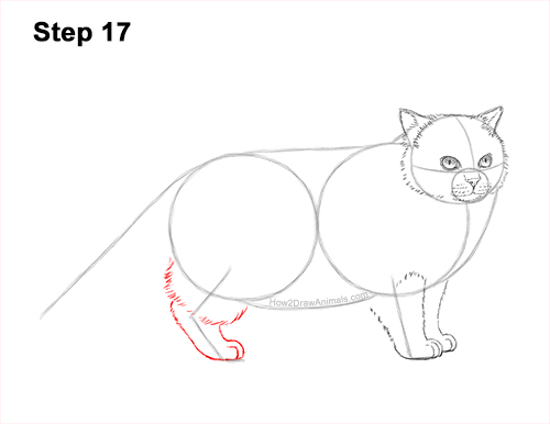 How to Draw Himalayan Cat Kitten Seal Point 17
