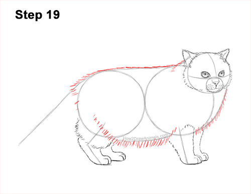 How to Draw Himalayan Cat Kitten Seal Point 19