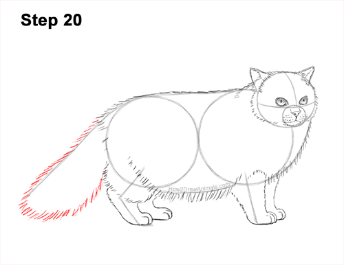 How to Draw Himalayan Cat Kitten Seal Point 20