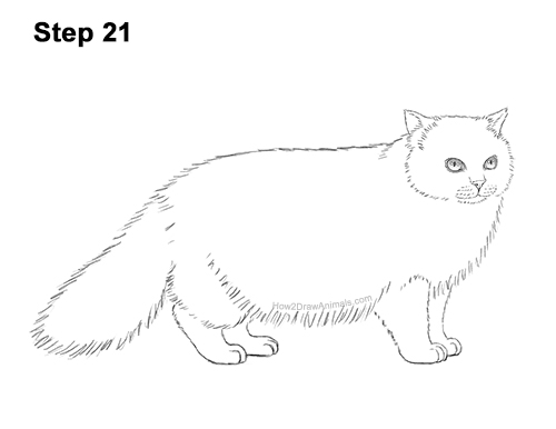 How to Draw Himalayan Cat Kitten Seal Point 21