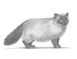 How to Draw a Himalayan Birman Cat Kitty Cat Side View