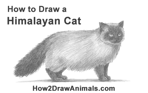How to Draw Himalayan Cat Kitten Seal Point