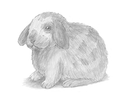 How to Draw a Holland Lop Bunny Rabbit