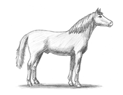 How to Draw Horse Arabian