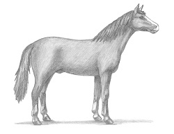 How to Draw an Arabian Horse Side View
