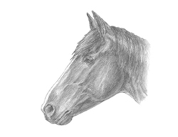 How to Draw a Horse Head Detail Portrait Profile Face