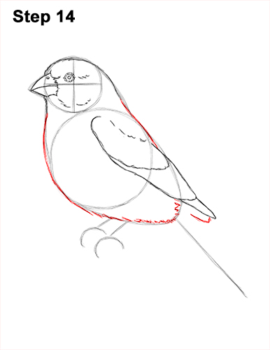 How to Draw Red House Finch Bird Color 14