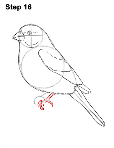 How to Draw Red House Finch Bird Color 16