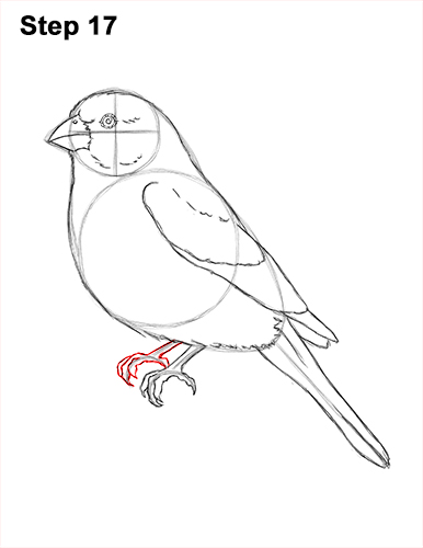 How to Draw Red House Finch Bird Color 17