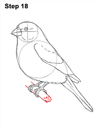 How to Draw Red House Finch Bird Color 18