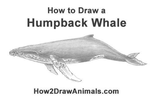 How to Draw Humpback Whale Side