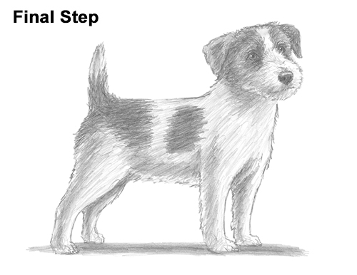 How to Draw a Cute Jack Russell Terrier Puppy Dog
