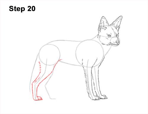 How to Draw a Black Backed Jackal Side 20