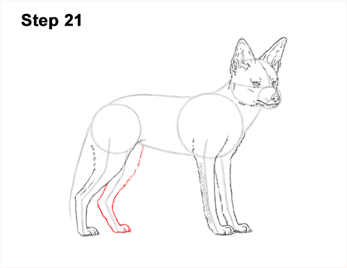 How to Draw a Black Backed Jackal Side 21