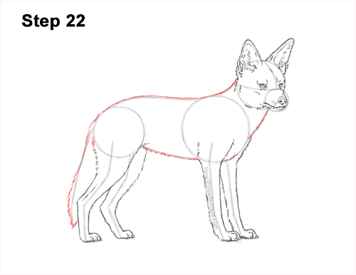 How to Draw a Black Backed Jackal Side 22