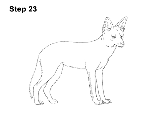 How to Draw a Black Backed Jackal Side 23