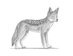 How to Draw a Black-Backed Golden Side-Striped Jackal