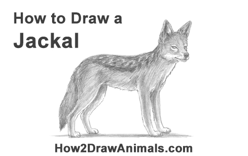 How to Draw a Black Backed Jackal Side