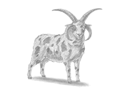 How to Draw a Jacob Sheep Ram Horns