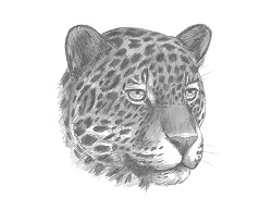 How to Draw a Jaguar Head Detail Portrait