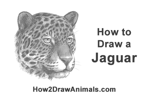 How to Draw a Jaguar Head Portrait Face