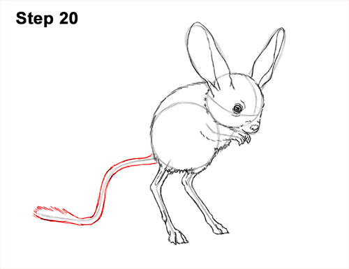 How to Draw Long-Eared Jerboa 20