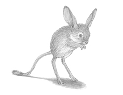 How to Draw a Long-Eared Jerboa