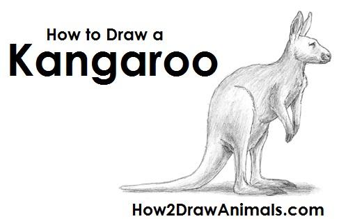 Draw Kangaroo