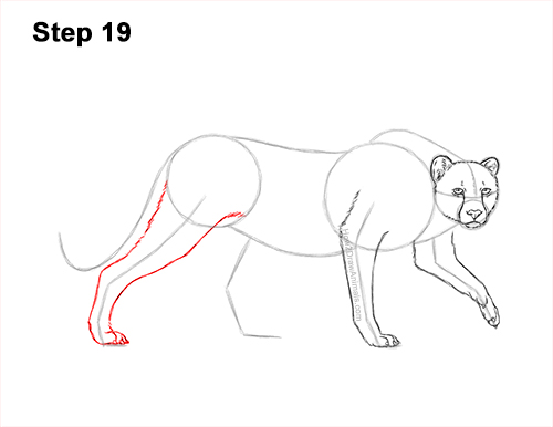 How to Draw a How to Draw a King Cheetah Walking 19
