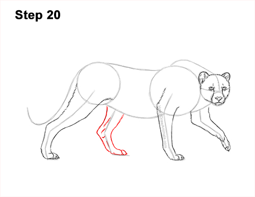How to Draw a How to Draw a King Cheetah Walking 20