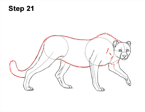How to Draw a How to Draw a King Cheetah Walking 21