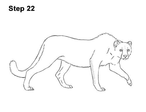 How to Draw a How to Draw a King Cheetah Walking 22