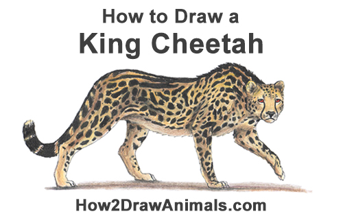 How to Draw a King Cheetah Color Walking