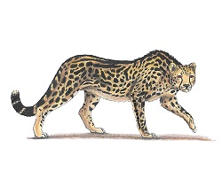 How to Draw a King Cheetah Side Walking