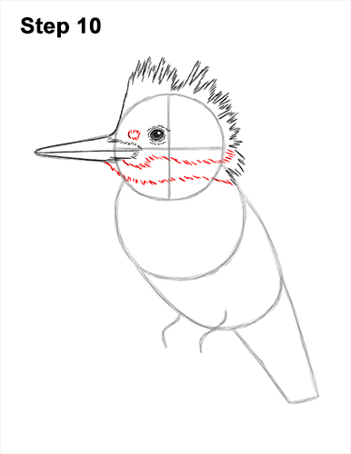 How to Draw a Belted Kingfisher Female 10