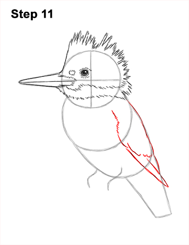 How to Draw a Belted Kingfisher Female 11