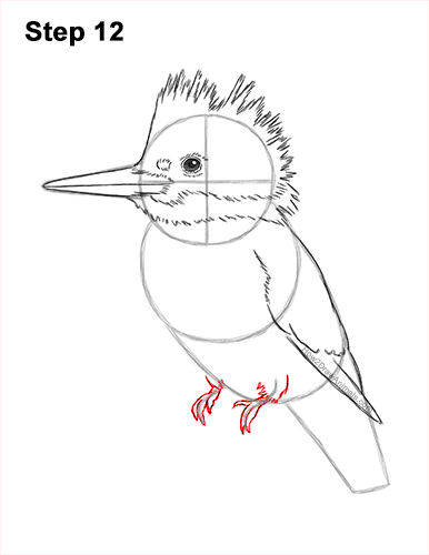 How to Draw a Belted Kingfisher Female 12