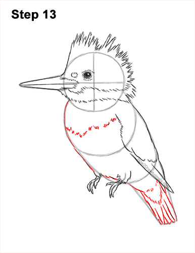 How to Draw a Belted Kingfisher Female 13