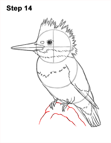 How to Draw a Belted Kingfisher Female 14