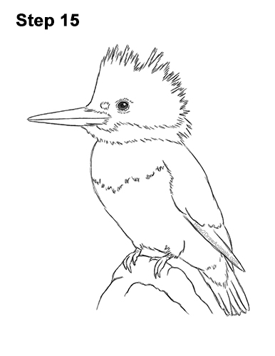 How to Draw a Belted Kingfisher Female 15