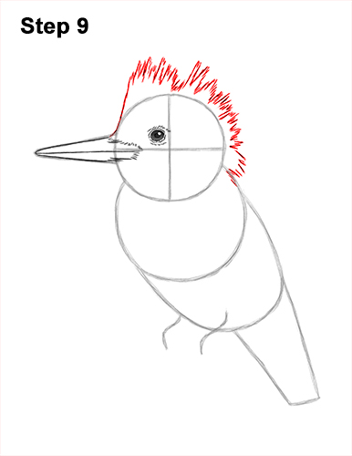 How to Draw a Belted Kingfisher Female 9