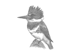 How to Draw a Female Belted Kingfisher Bird